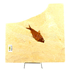 Fossils for sale Diplomystus Fish Fossil Plate