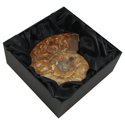 Ammonite Fossil Gift Box